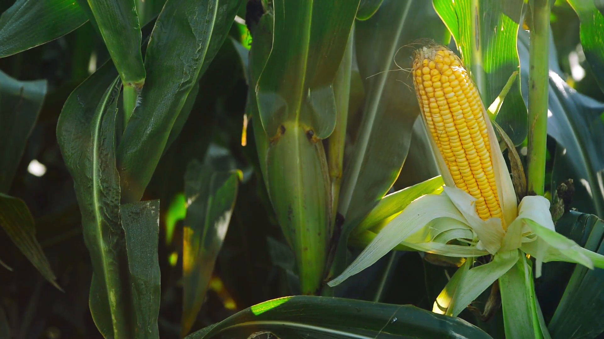 Corn Wave Analysis – 23 April, 2019