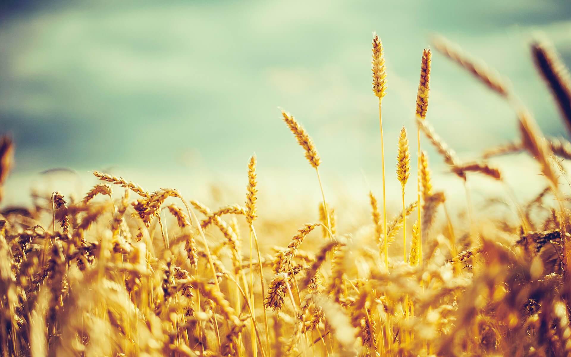 Corn Wave Analysis – 12 June, 2019