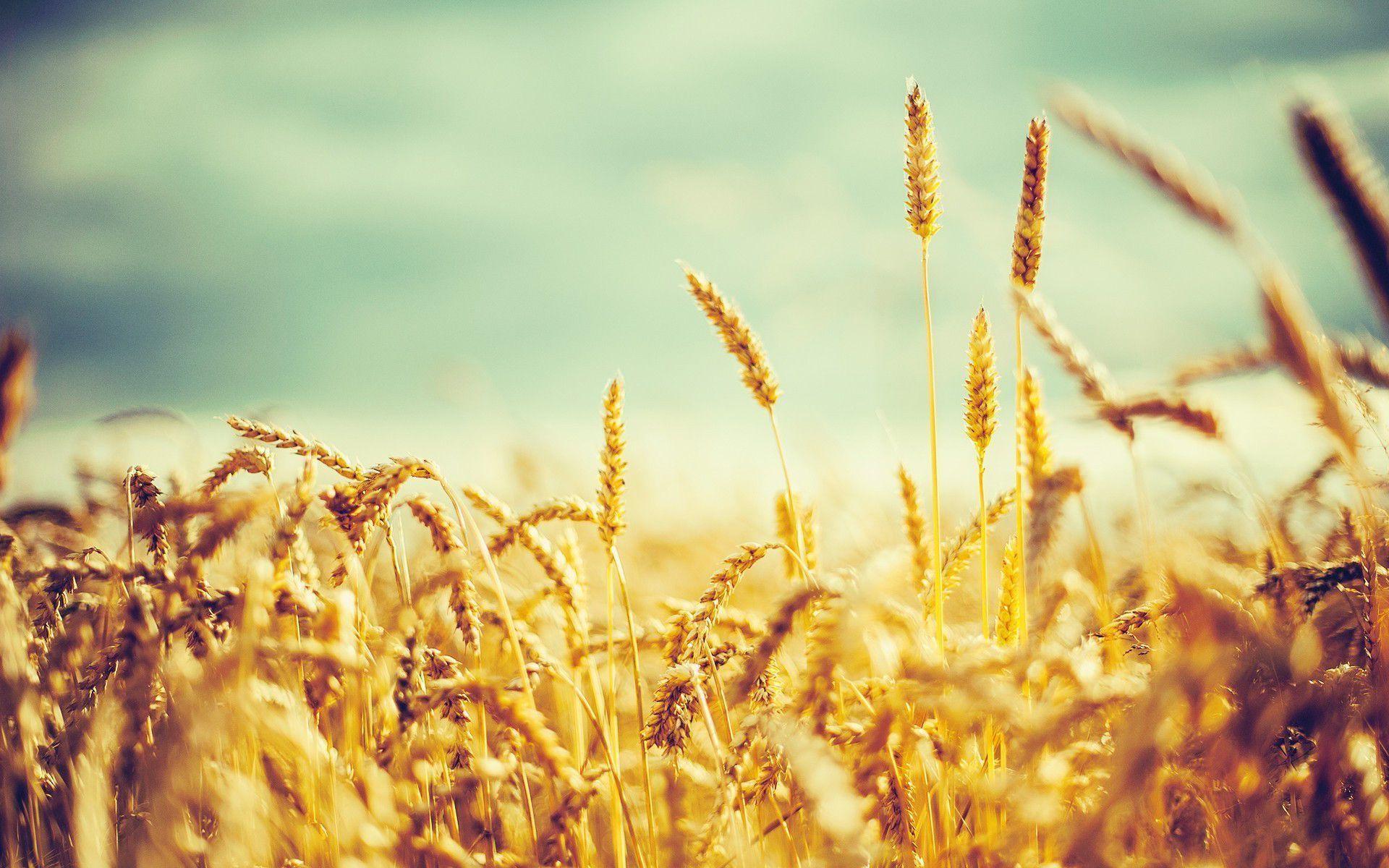 Wheat Wave Analysis – 20 January, 2019