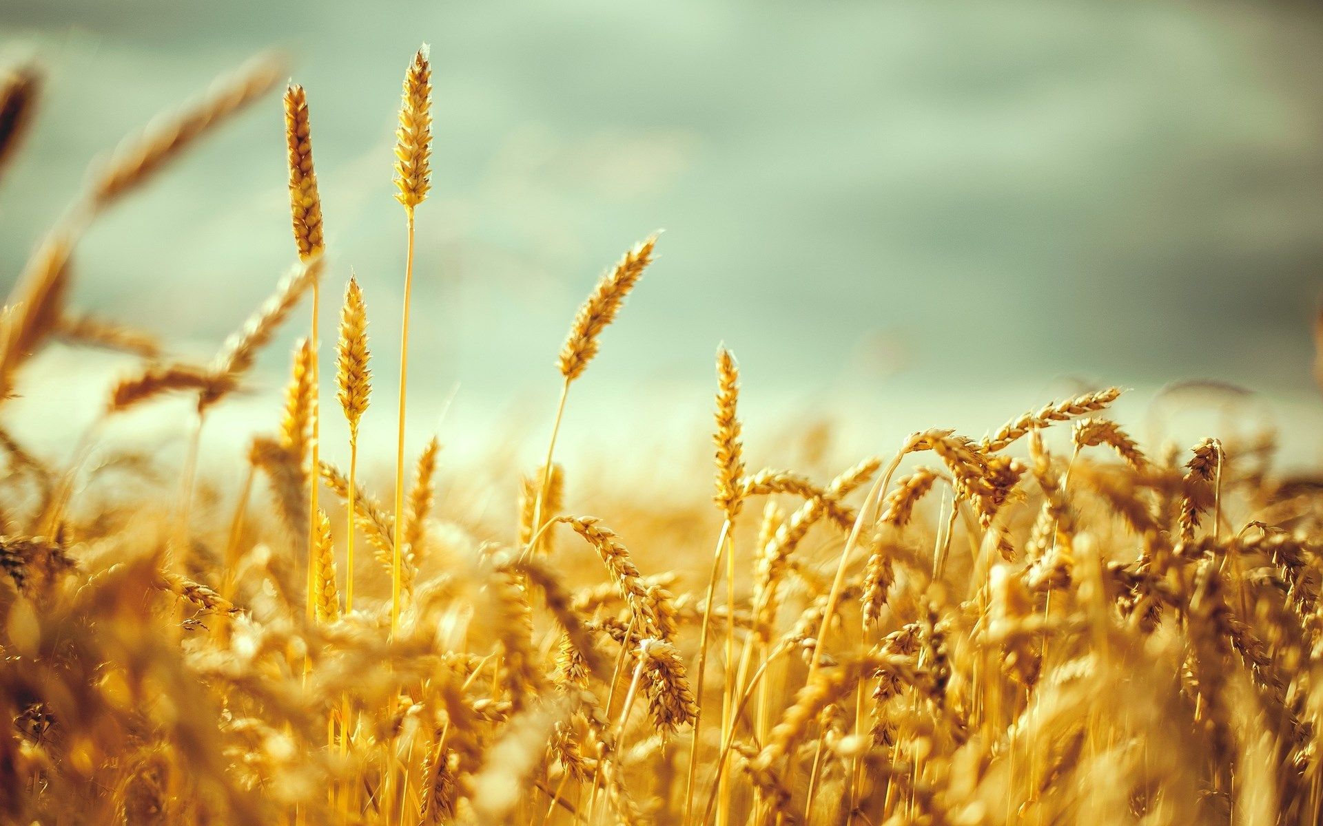 Wheat Wave Analysis – 31 August, 2020