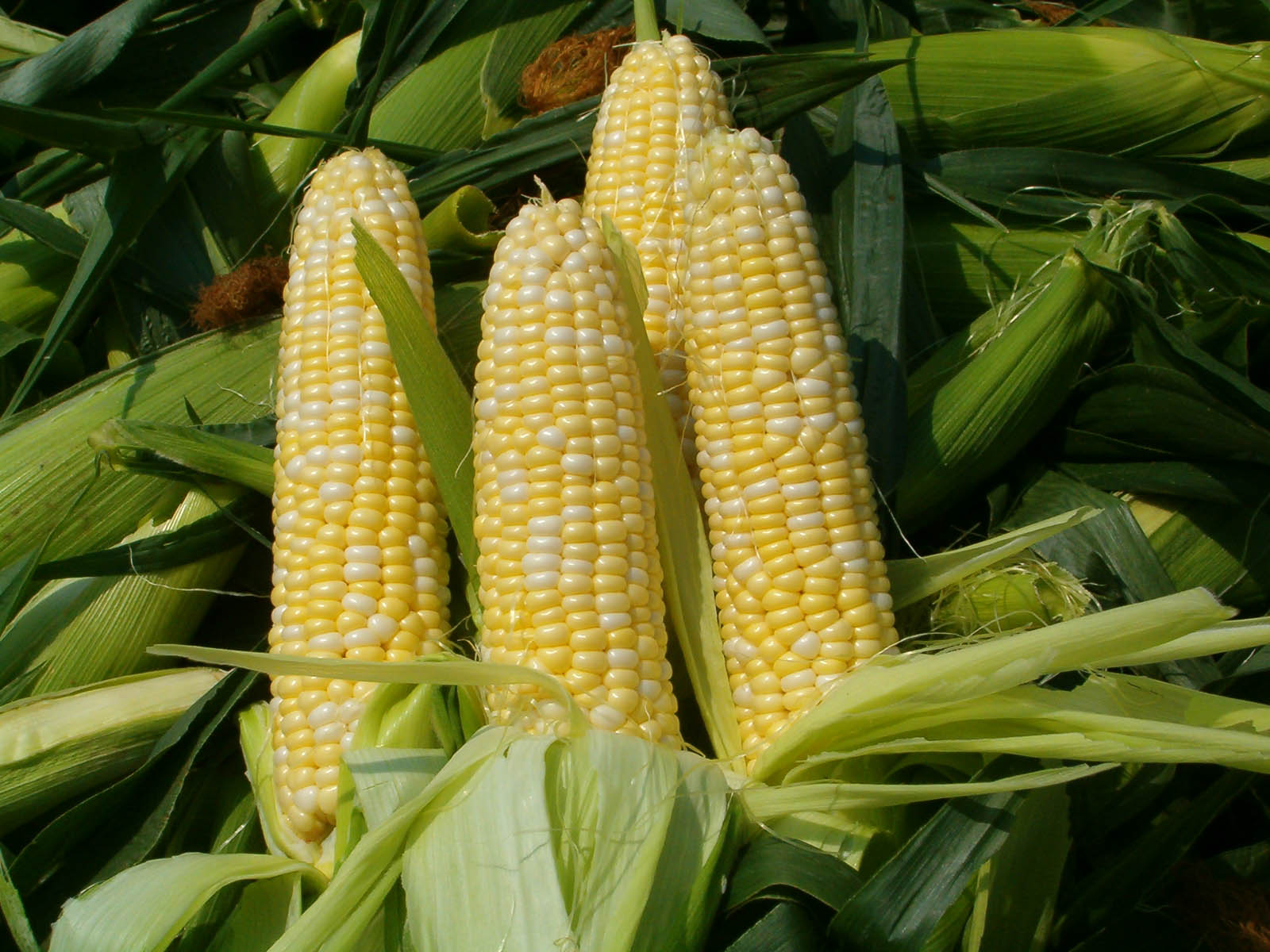 Corn Wave Analysis 26 January, 2021